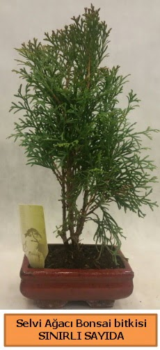 Selvi ağacı bonsai japon ağacı bitkisi  Bitlis çiçek satışı