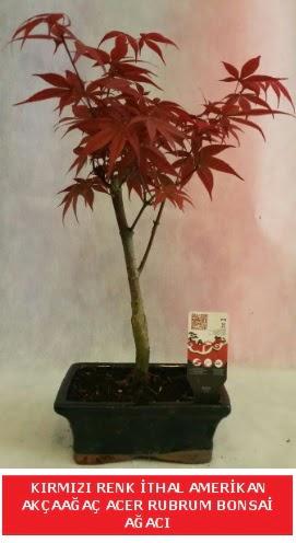 İTHAL ACER RUBRUM BONSAİ AĞACI  Bitlis çiçek gönderme sitemiz güvenlidir