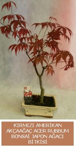 Amerikan akçaağaç Acer Rubrum bonsai  Bitlis uluslararası çiçek gönderme