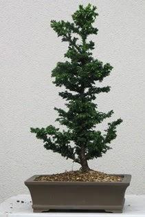 Çam ağacı bonsai bitkisi satışı  Bitlis çiçekçi telefonları