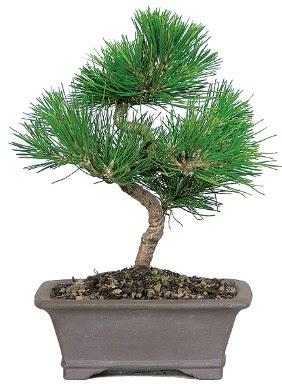 Çam ağacı bonsai japon ağacı bitkisi  Bitlis çiçek gönderme