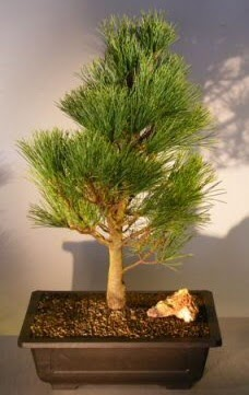 Çam ağacı japon ağacı bitkisi bonsai  Bitlis çiçekçi telefonları