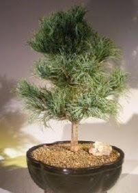 Çam ağacı bonsai bitkisi satışı  Bitlis ucuz çiçek gönder