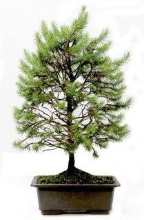 *** STOKTA YOK - Çam ağacı bonsai bitkisi satışı  Bitlis cicekciler , cicek siparisi