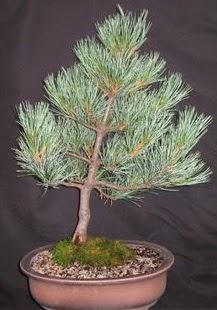 Bonsai çam ağacı japon ağacı bitkisi  Bitlis çiçek siparişi sitesi