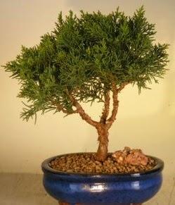 Servi çam bonsai japon ağacı bitkisi  Bitlis çiçek yolla