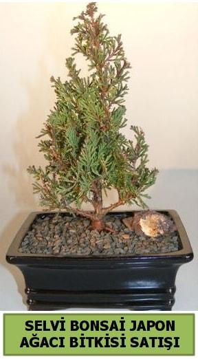 Selvi çam japon ağacı bitkisi bonsai  Bitlis çiçekçi telefonları