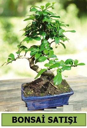 Çam bonsai japon ağacı satışı  Bitlis çiçek satışı