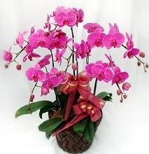 Sepet içerisinde 5 dallı lila orkide  Bitlis ucuz çiçek gönder