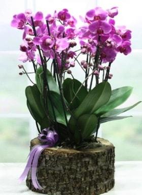 Kütük içerisinde 6 dallı mor orkide  Bitlis ucuz çiçek gönder