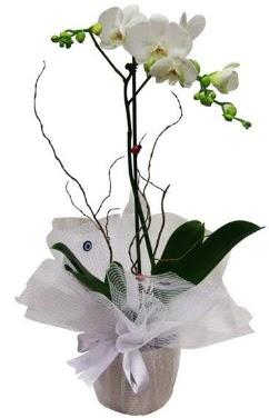 Tek dallı beyaz orkide  Bitlis cicek , cicekci