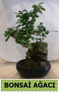 Bonsai ağacı japon ağacı satışı  Bitlis hediye çiçek yolla