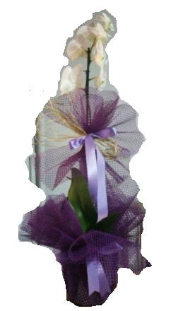 Tek dallı beyaz orkide süper kalite ithal  Bitlis çiçek siparişi sitesi