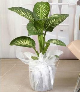 Tropik saksı çiçeği bitkisi  Bitlis çiçek satışı