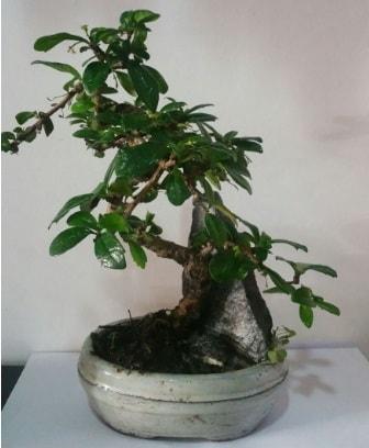 S şeklinde ithal bonsai ağacı  Bitlis çiçek yolla