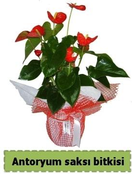 Antoryum saksı bitkisi satışı  Bitlis çiçek , çiçekçi , çiçekçilik