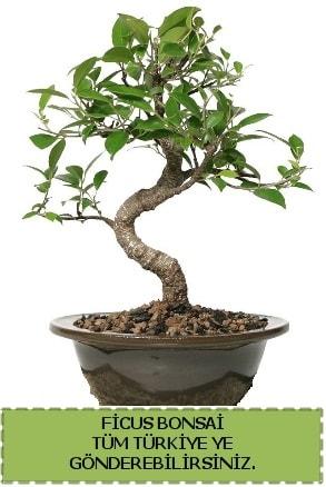 Ficus bonsai  Bitlis çiçek gönderme sitemiz güvenlidir