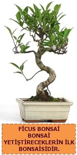 Ficus bonsai 15 ile 25 cm arasındadır  Bitlis çiçek yolla