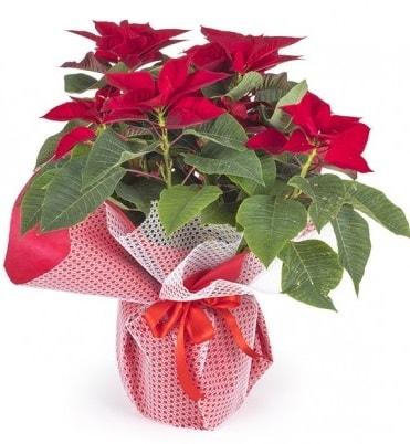 Atatürk çiçeği saksı bitkisi  Bitlis çiçek gönderme sitemiz güvenlidir