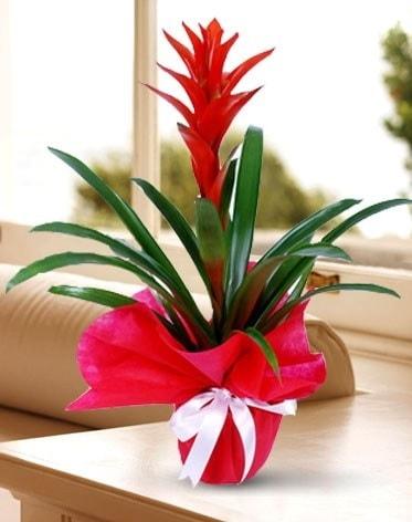 Guzmanya Saksı Çiçeği  Bitlis çiçek yolla