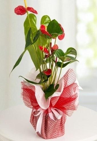 Anthurium Saksı Çiçeği  Bitlis hediye çiçek yolla