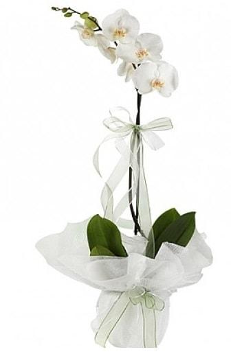 Tekli Beyaz Orkide  Bitlis hediye çiçek yolla