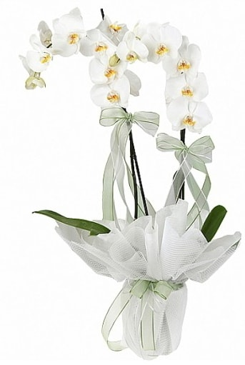 Çift Dallı Beyaz Orkide  Bitlis anneler günü çiçek yolla