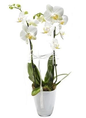 2 dallı beyaz seramik beyaz orkide saksısı  Bitlis çiçek gönderme sitemiz güvenlidir