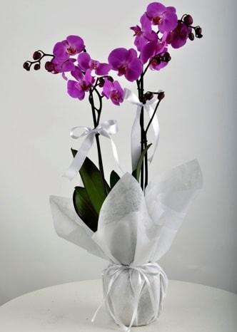 Çift dallı saksıda mor orkide çiçeği  Bitlis çiçek siparişi vermek