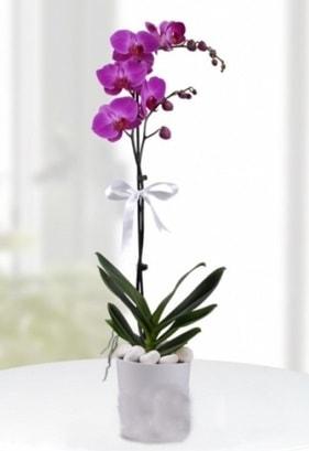 Tek dallı saksıda mor orkide çiçeği  Bitlis çiçekçiler