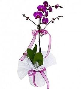 Tek dallı saksıda ithal mor orkide çiçeği  Bitlis çiçekçiler