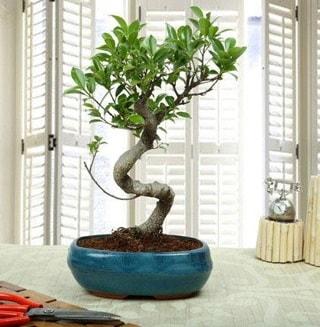 Amazing Bonsai Ficus S İthal  Bitlis internetten çiçek siparişi