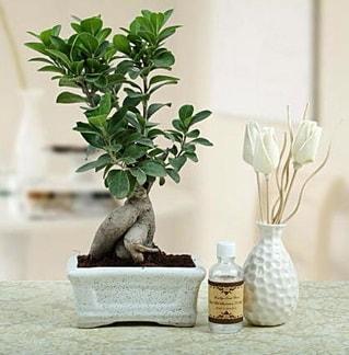 Ginseng ficus bonsai  Bitlis çiçekçiler