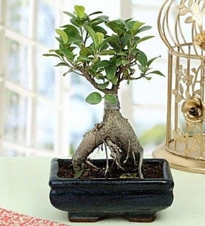 Appealing Ficus Ginseng Bonsai  Bitlis anneler günü çiçek yolla