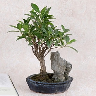 Japon ağacı Evergreen Ficus Bonsai  Bitlis çiçek gönderme sitemiz güvenlidir
