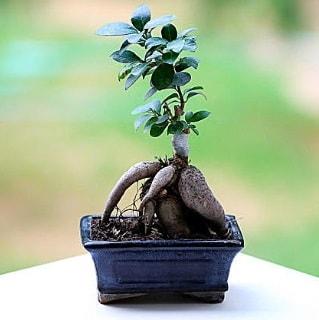 Marvellous Ficus Microcarpa ginseng bonsai  Bitlis çiçek siparişi vermek
