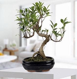 Gorgeous Ficus S shaped japon bonsai  Bitlis yurtiçi ve yurtdışı çiçek siparişi