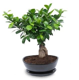 Ginseng bonsai ağacı özel ithal ürün  Bitlis internetten çiçek satışı