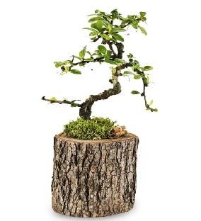 Doğal kütükte S bonsai ağacı  Bitlis çiçek satışı