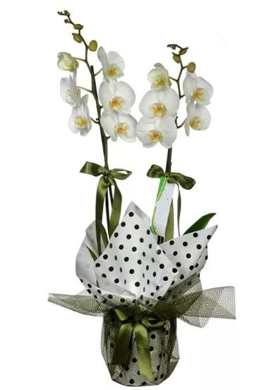 Çift Dallı Beyaz Orkide  Bitlis 14 şubat sevgililer günü çiçek
