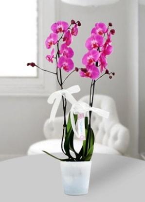 Çift dallı mor orkide  Bitlis çiçekçiler