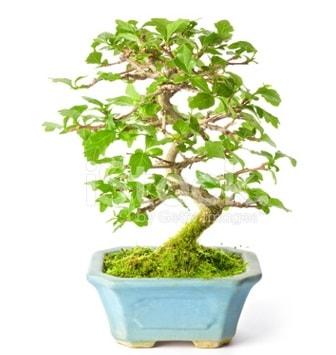 S zerkova bonsai kısa süreliğine  Bitlis İnternetten çiçek siparişi
