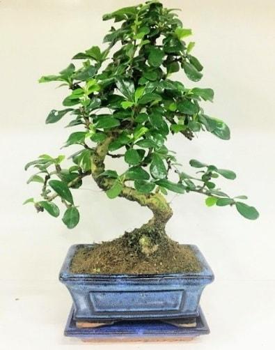 S Bonsai japon ağacı bitkisi  Bitlis uluslararası çiçek gönderme
