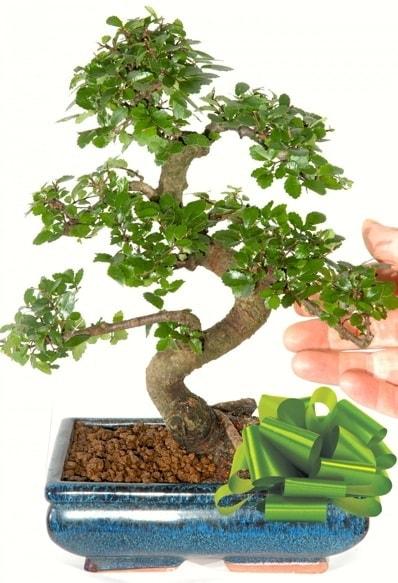 Yaklaşık 25 cm boyutlarında S bonsai  Bitlis çiçek siparişi sitesi