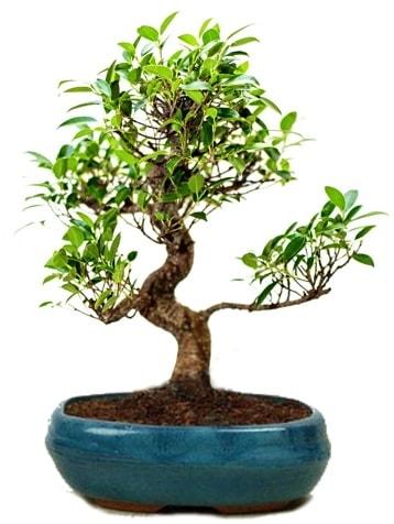 25 cm ile 30 cm aralığında Ficus S bonsai  Bitlis çiçek gönderme sitemiz güvenlidir