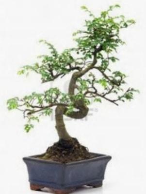 S gövde bonsai minyatür ağaç japon ağacı  Bitlis çiçek satışı