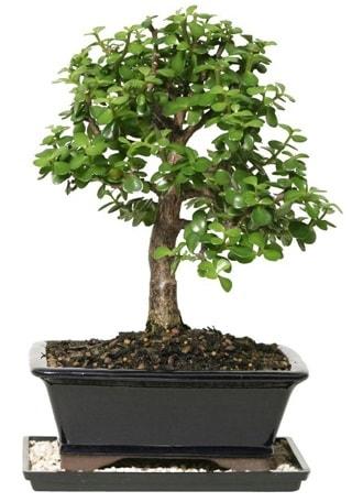 15 cm civarı Zerkova bonsai bitkisi  Bitlis çiçek siparişi sitesi