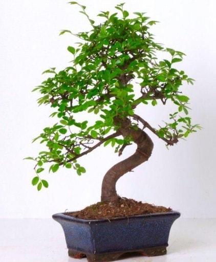 S gövdeli bonsai minyatür ağaç japon ağacı  Bitlis çiçek gönderme sitemiz güvenlidir