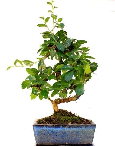 S gövdeli carmina bonsai ağacı  Bitlis çiçek yolla  Minyatür ağaç