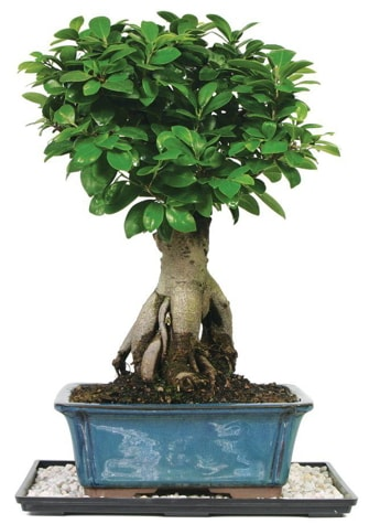 Bonsai Ginsing Grafted Ficus Bonsai  Bitlis çiçek yolla